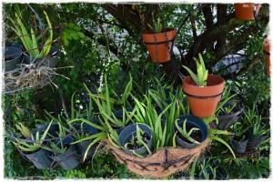 Aloe tree!