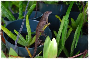 One of our Guardian Anoles keeps an eye out for insects.